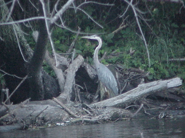 herons like this almost made Sam jump out of the canoe